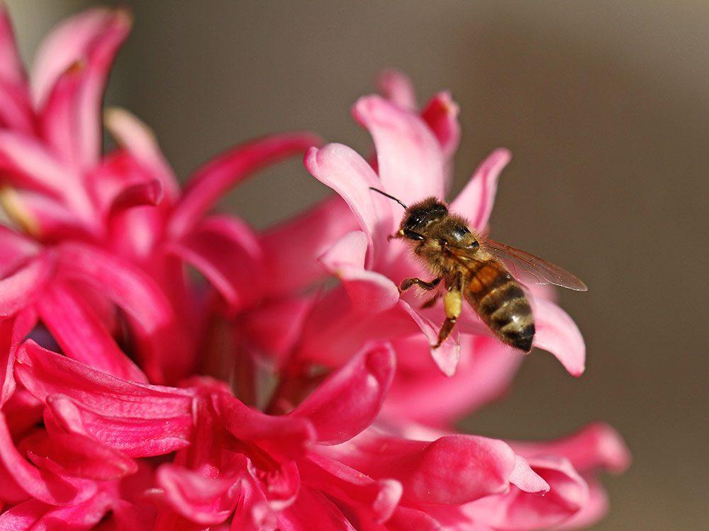 Bee friendly plants - hyacinth