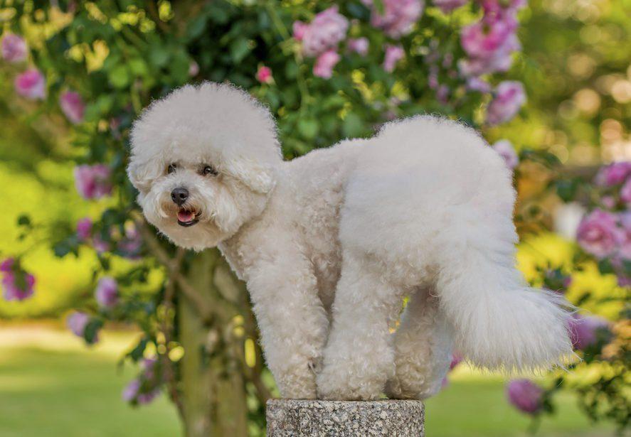 dog, Bichon Frise, Chinese zodiac of 2018