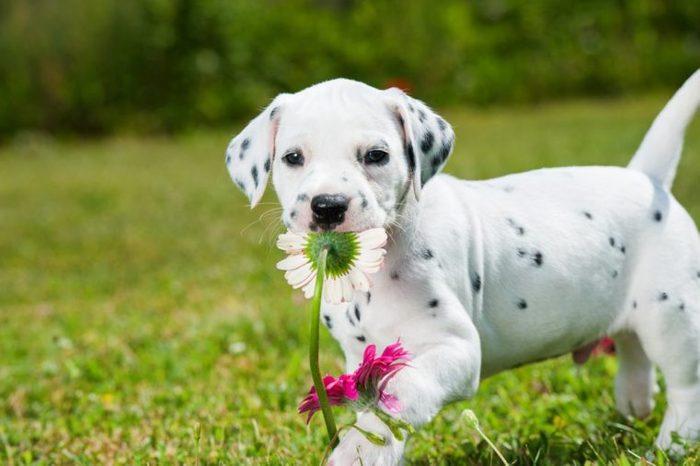 Dalmatian puppy in a meadow