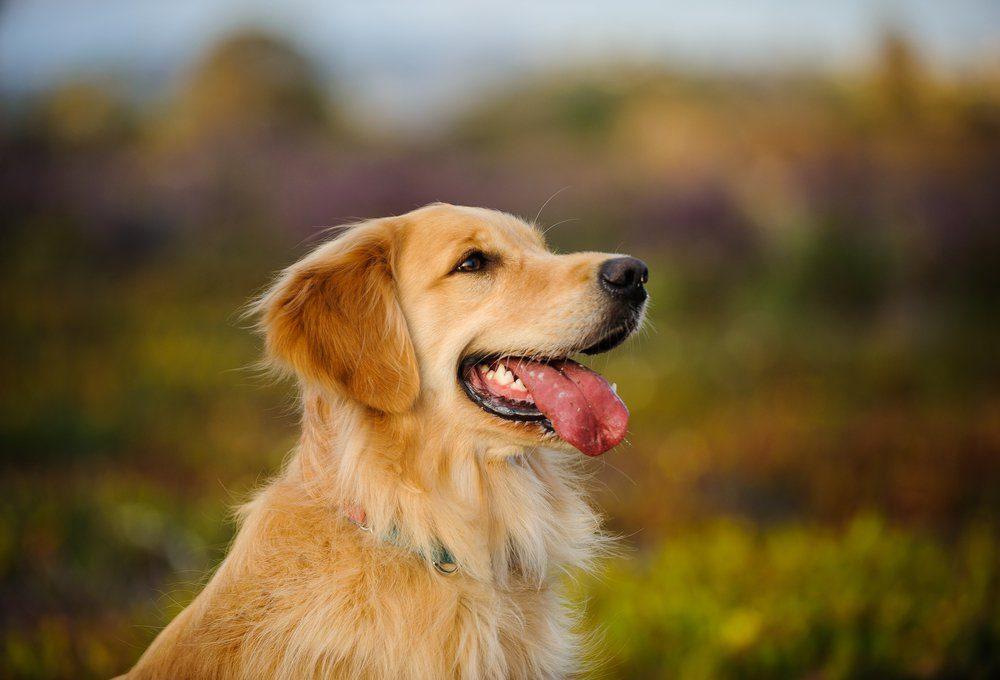Golden Retriever dog headshot