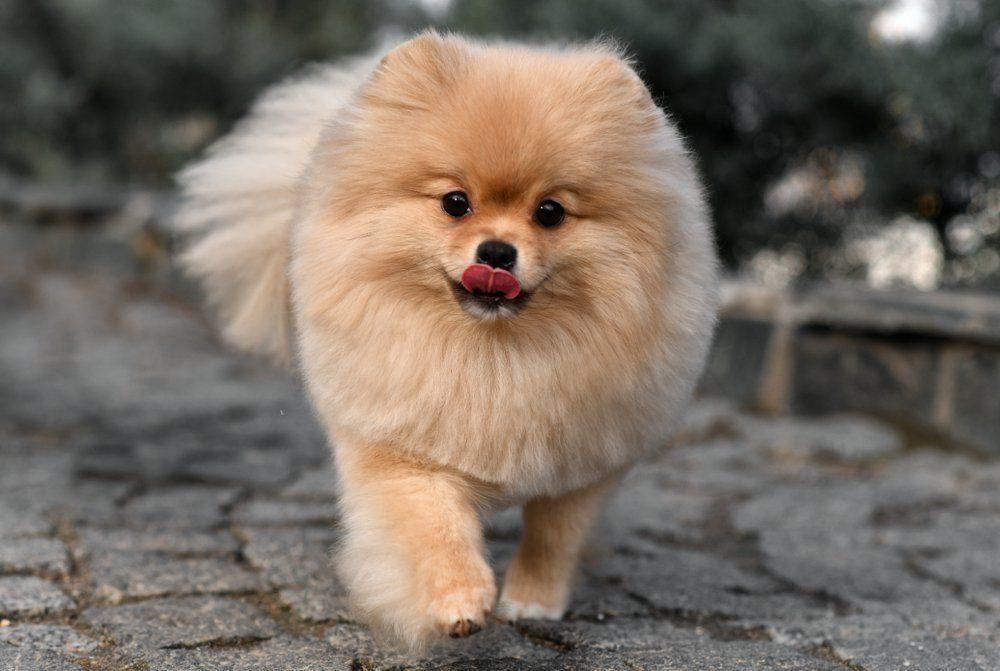 Pomeranian spitz. Cream dog. Fluffy
