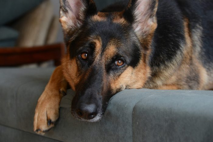 A lonely german shepherd resting.