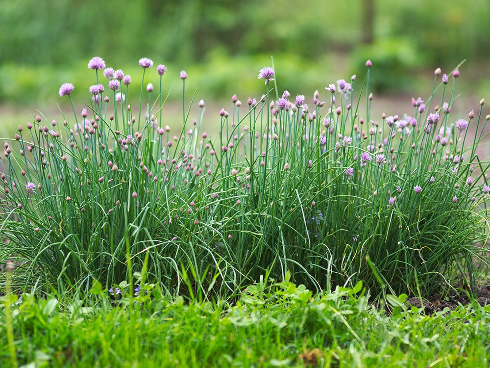 How to grow chives - tips from Carson Arthur