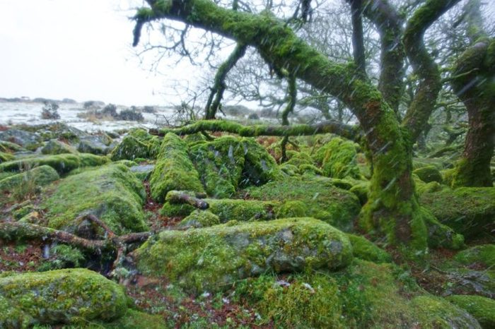 Moss coverd boulders and blizzard conditions inside Wistman's Wood, home to over 100 species of lichens, on a grey misty day, Dartmoor National Park, Devon, UK
