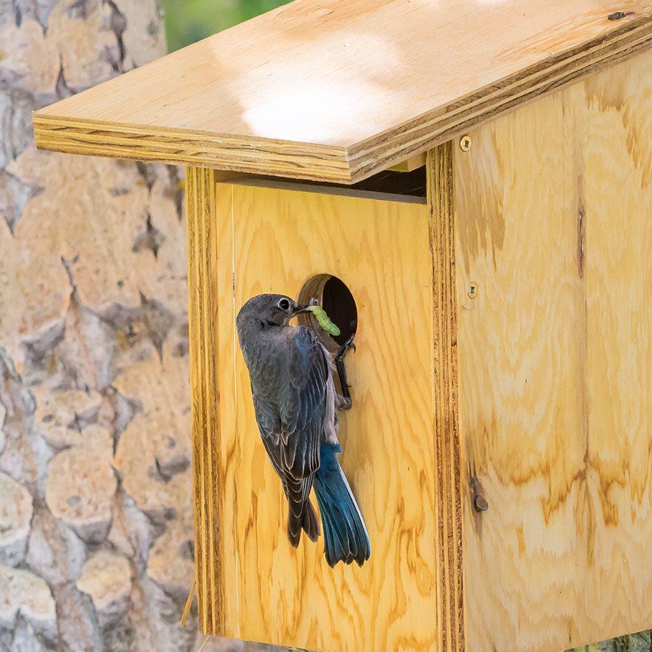 Mountain bluebird box
