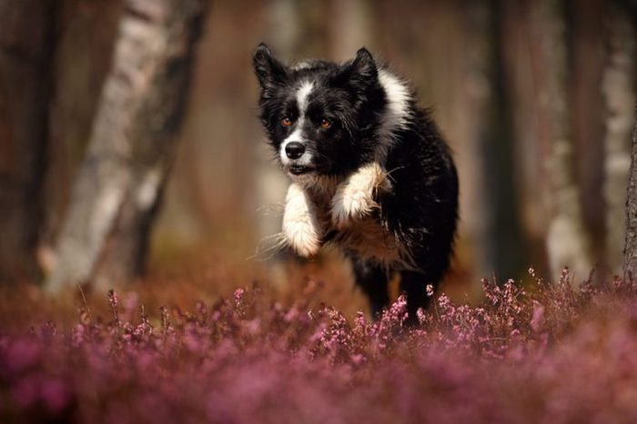 Dog is running and jumping. Active dog in nature.