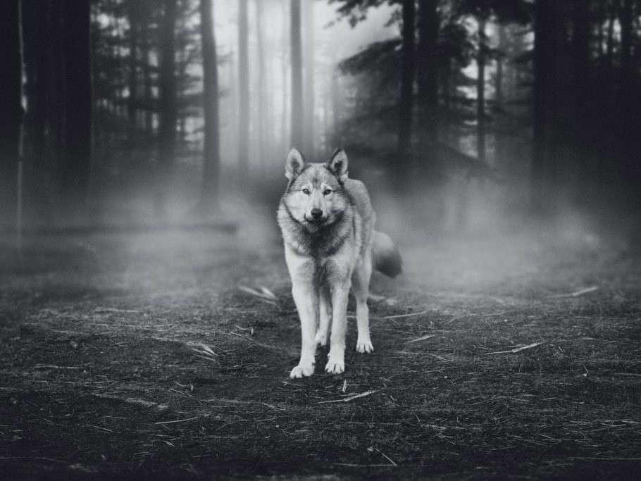 Timber wolf encounter