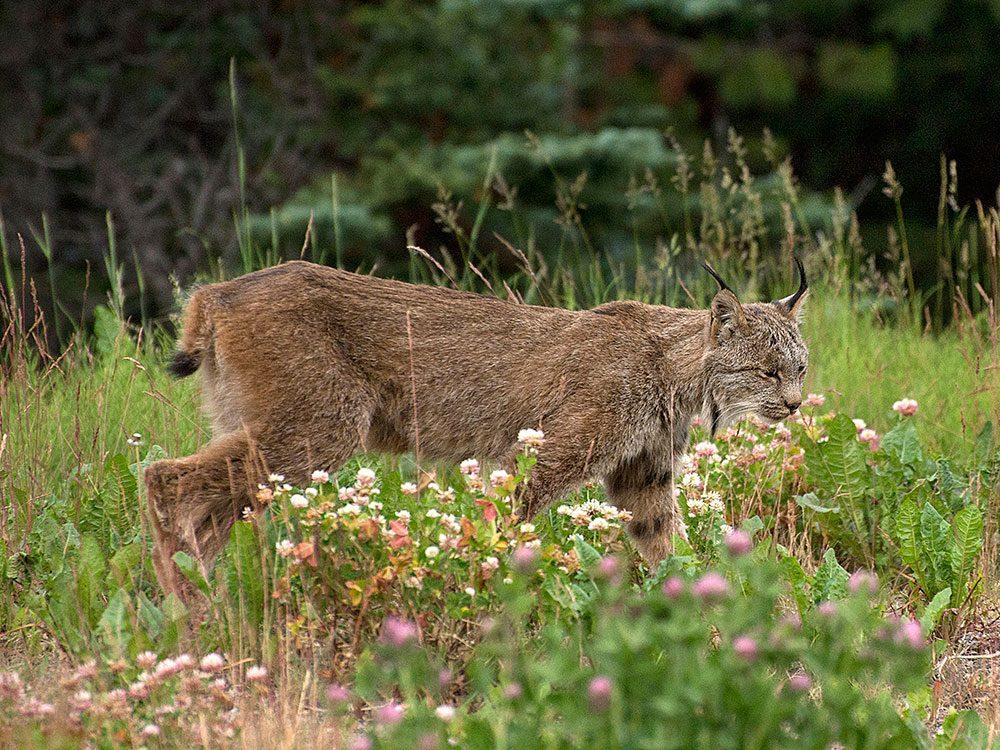 Best place in the Yukon - lynx