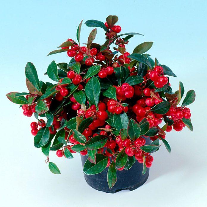 Very Berry Creeping Wintergreen