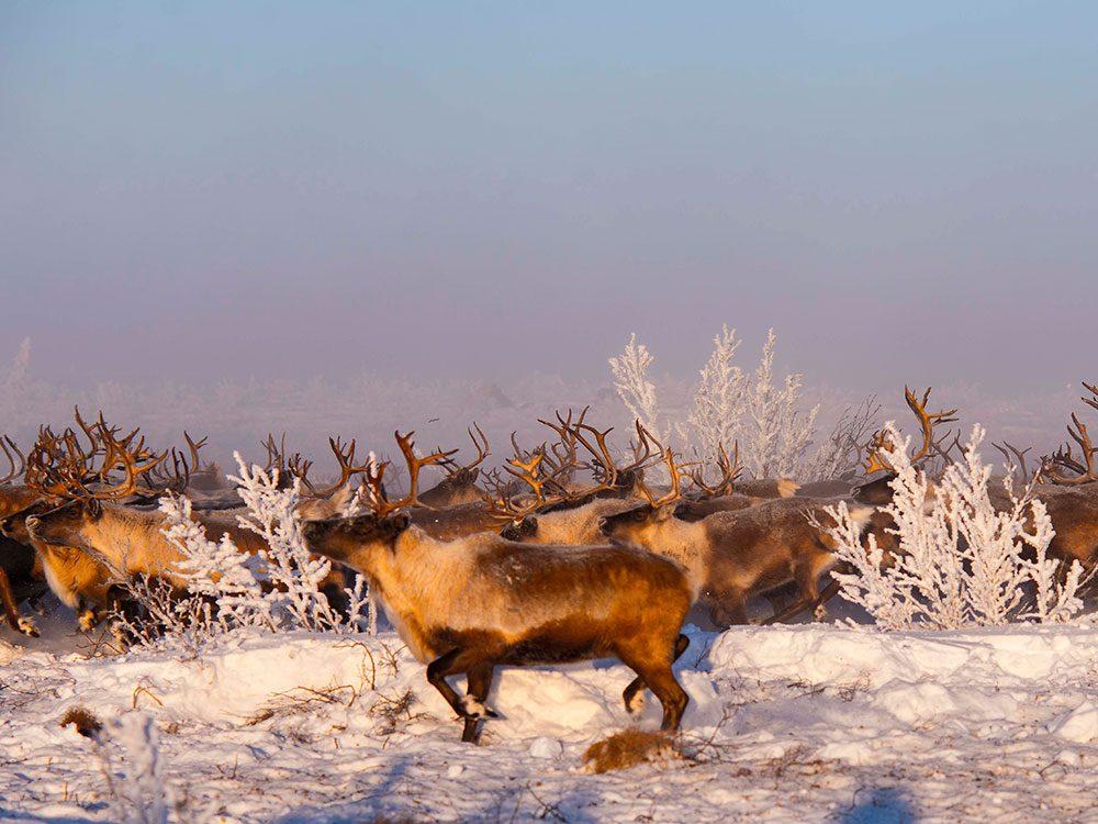 Canadian attractions - reindeer migration