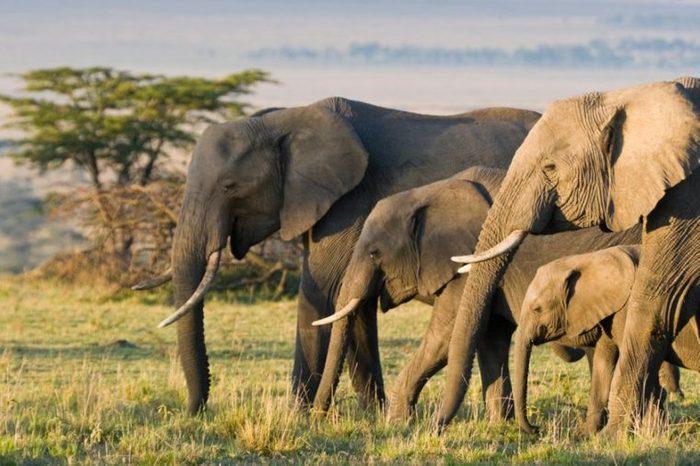 African Elephants on the Masai Mara, Kenya, Africa