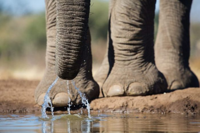 A close up of an African elephant slurping up water with its trunk