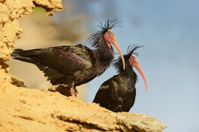 Two black Walldrapps (Geronticus eremita) with pink skinny beaks sitting on the rock in Spain with blue background.