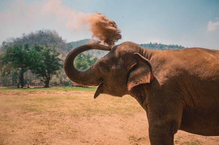 Young, happy elephant enjoying the sand in Chiang Mai, Thailand