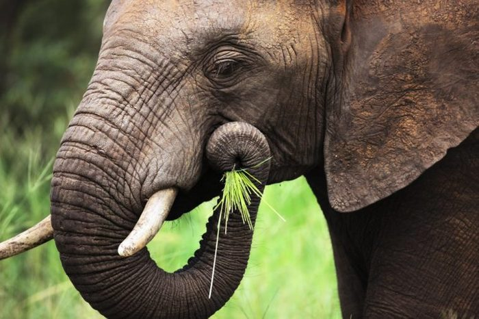 Close-up of a African Elephant eating green grass; Loxodonta Africana
