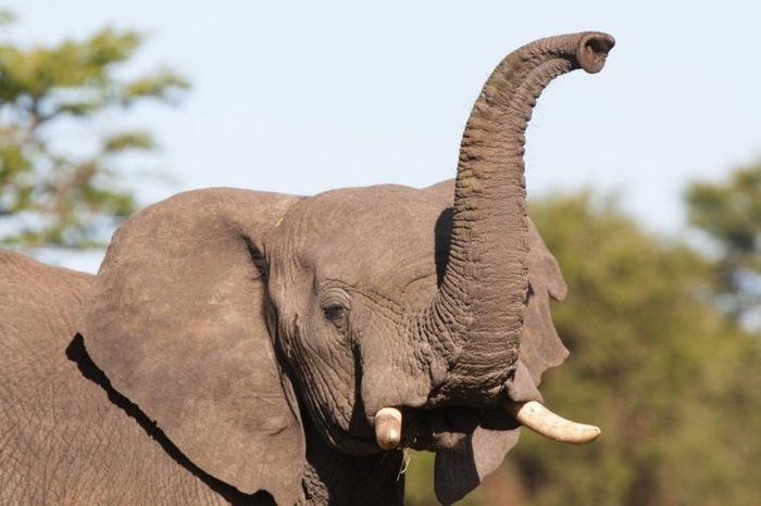 An African elephant raising its trunk to smell