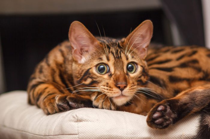 kitten of a Bengal cat lays on a chair