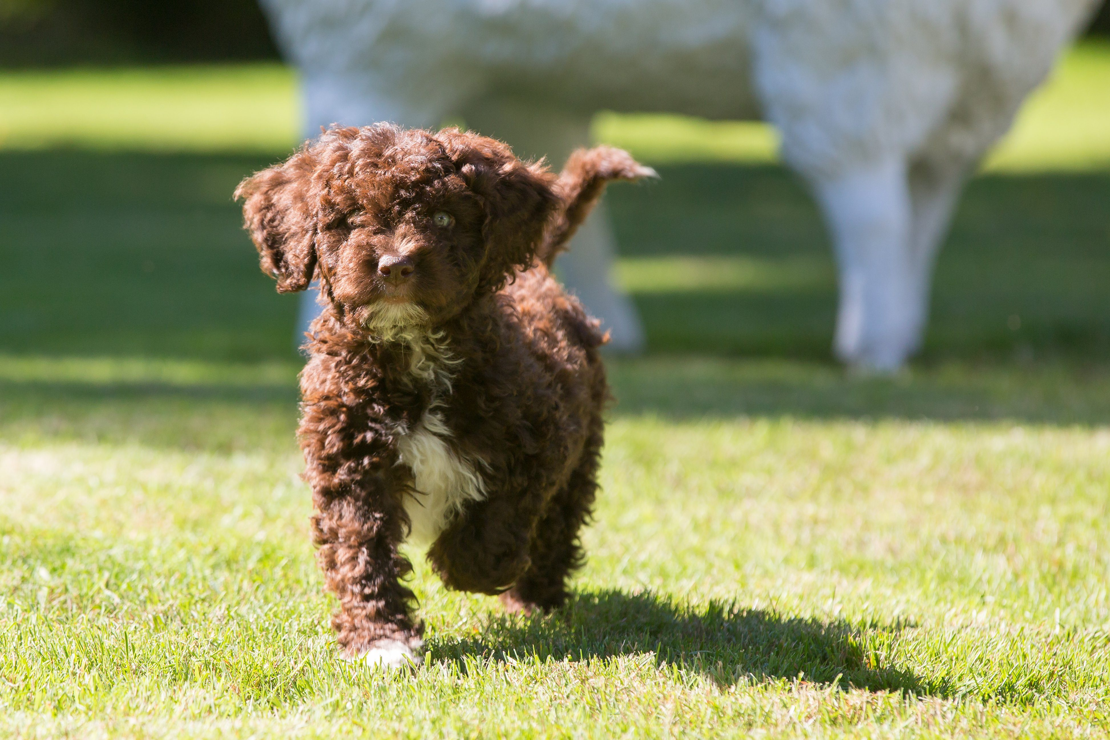 Cute spanish water dog puppy walking on green grass towards the camera in a garden
