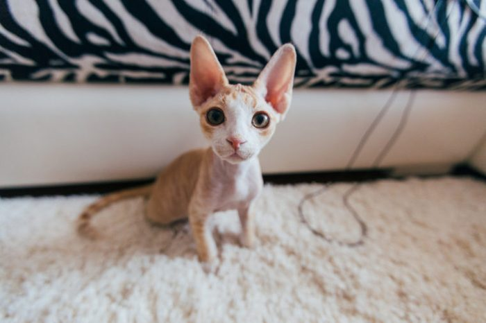 Funny cat. Devon rex. Best friend for human