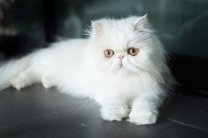 The Exotic Shorthair is a breed of cat developed to be a short-haired version of the Persian.