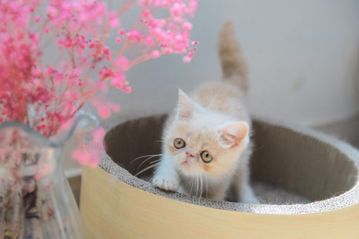Cute Exotic kitten cat