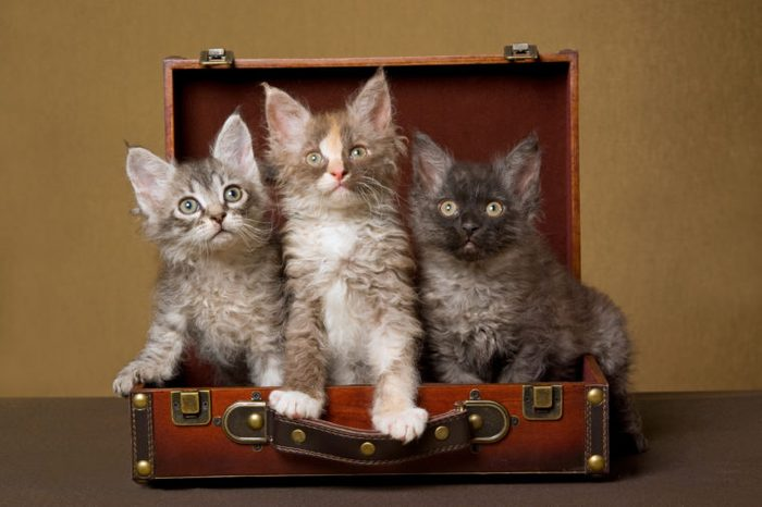 3 LaPerm kittens sitting inside brown suitcase