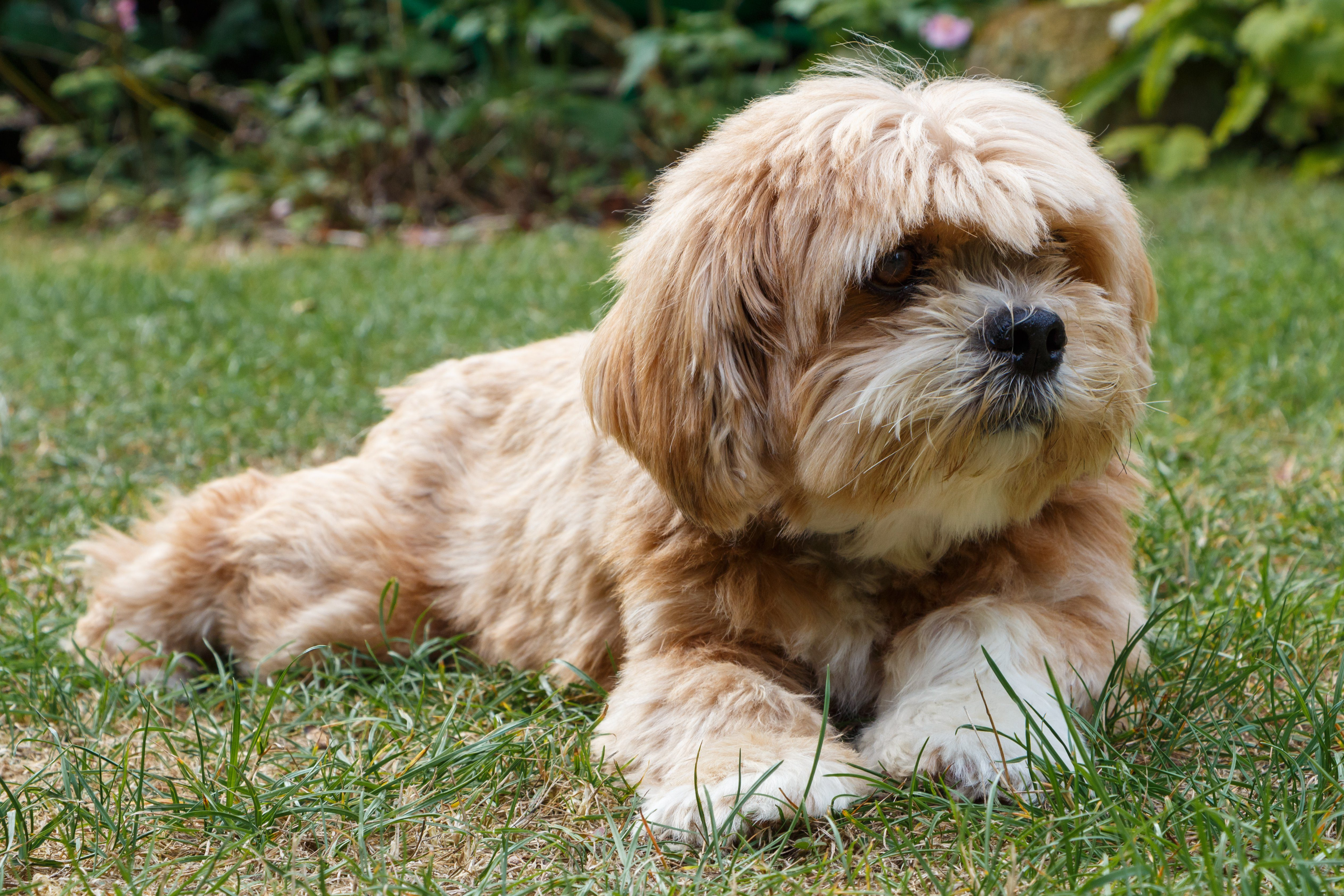 Lhasa Apso dog lying in the grass of a garden