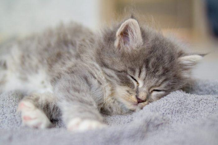 Little fluffy Grey Persian Maine coon kitten lies and sleeps on a gray pillow . Newborn kitten, domestic Kid animals and cats concept.