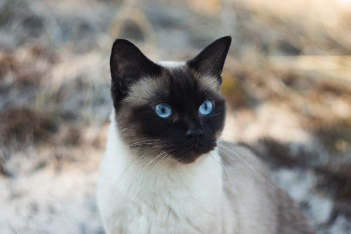 Beautiful brown Siamese female cat on sandy background, portrait