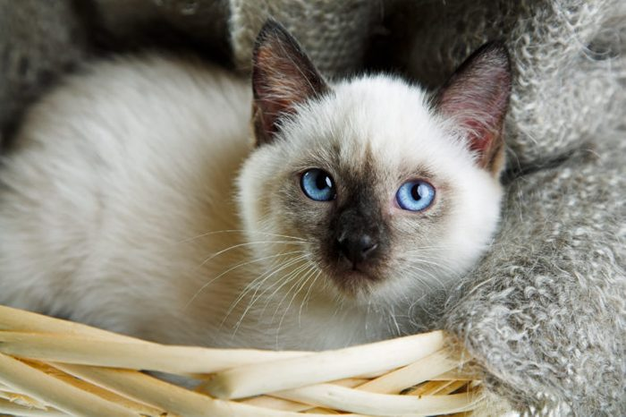 Siamese cat lying in the bast basket