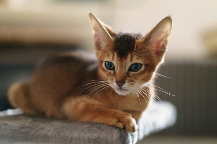 abyssinian kitten wild color indoor portrait, shallow focus grainy photo