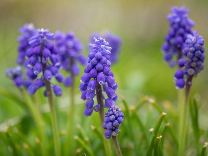 Grape hyacinth flowers