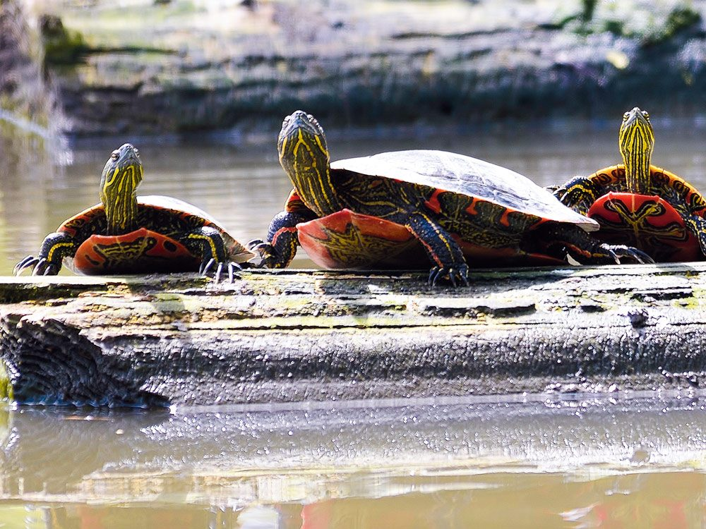 Brightly coloured western painted turtles basking in the sun
