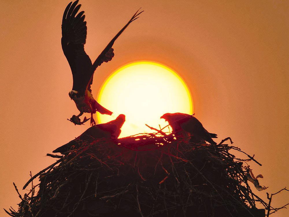"An osprey brings fish back to its nest during a ""wildfire"" sunset"