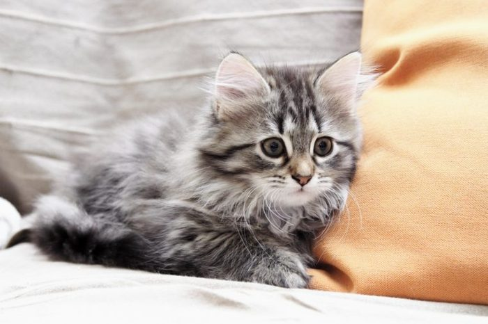 brown kitten of siberian breed