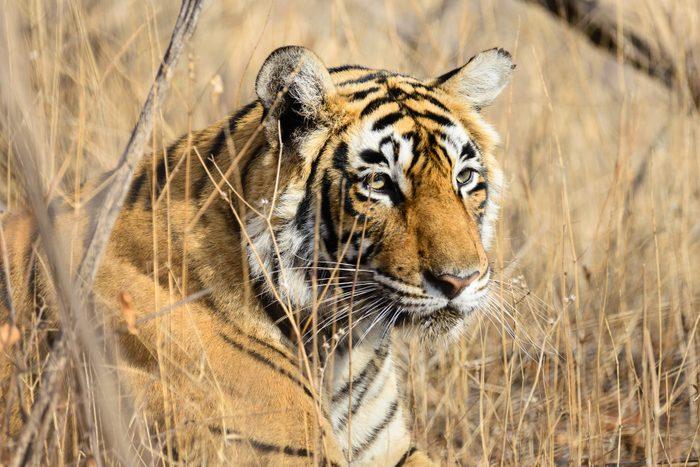 Wild Bengal Tiger (Panthera Tigris Tigris) hiding to catch her Prey, Ranthambore national park, India