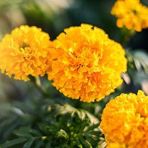 Best mosquito repellent plants - marigolds