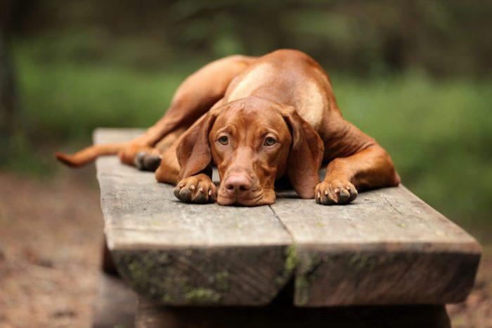 Sad Dog Vizsla lying on bench