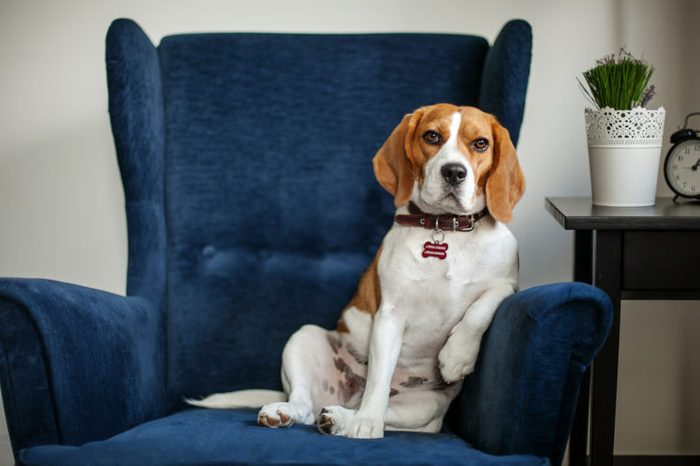 Funny beagle dog sitting in the chair like a boss