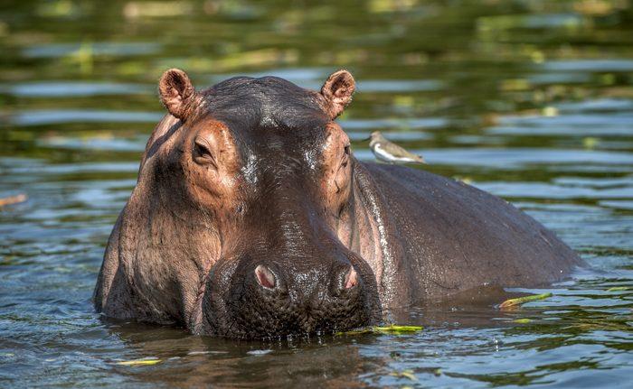 The common hippopotamus in the water. Africa
