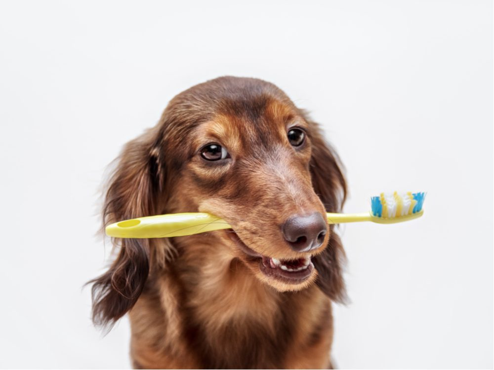 Cute dog with toothbrush