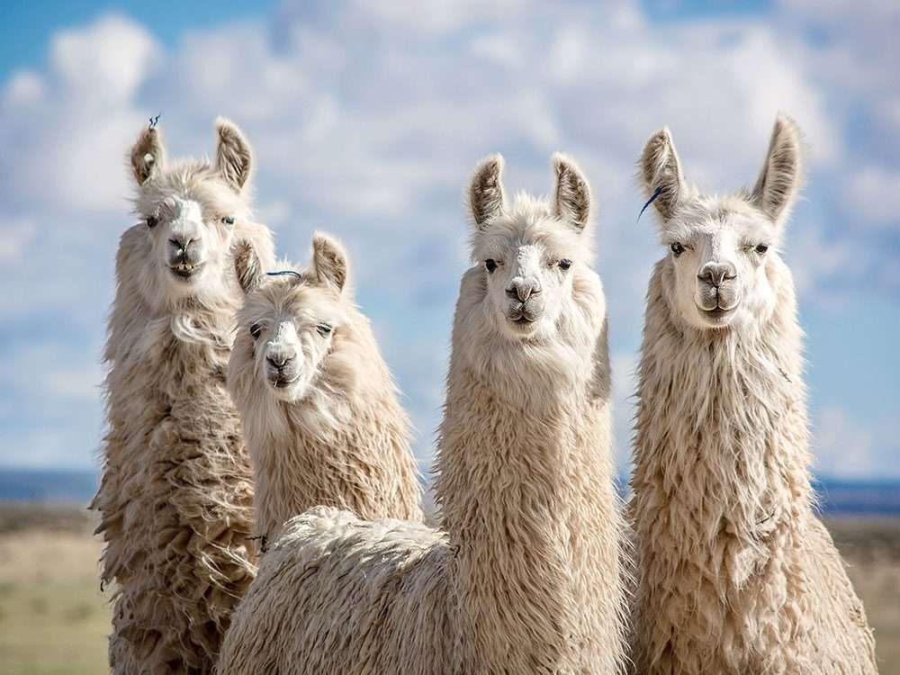 Things to do in Peru - Learn the difference between llamas and alpacas