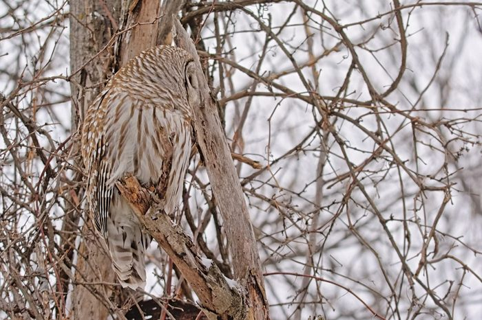Spotted owl in camouflage colors sitting on a bare tree branch with snow in winter in Gatineau national park, Quebec, Canada, selective focus, side view