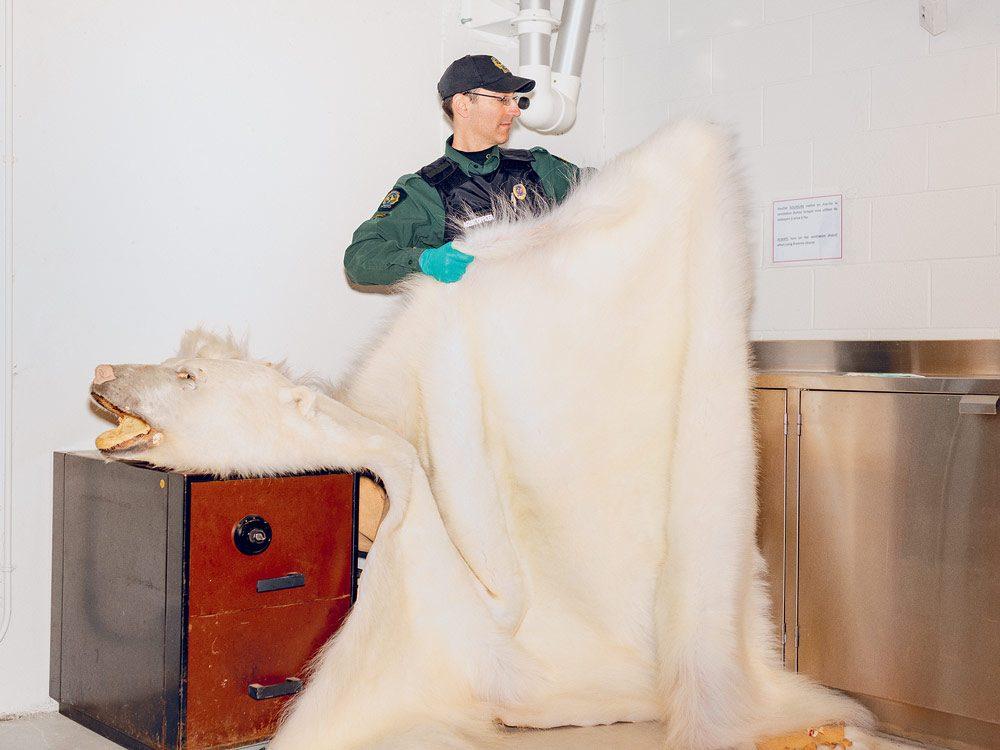 Wildlife enforcement officer Jean-Francois Dubois with a polar bear pelt