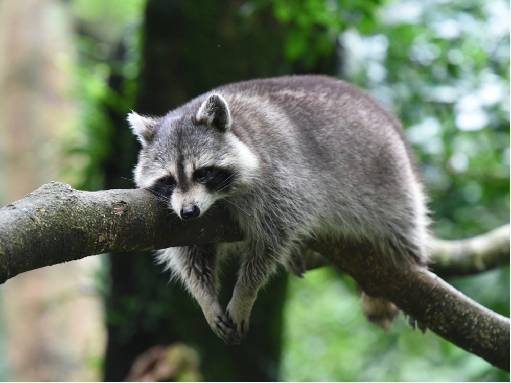 funny tweets raccoon