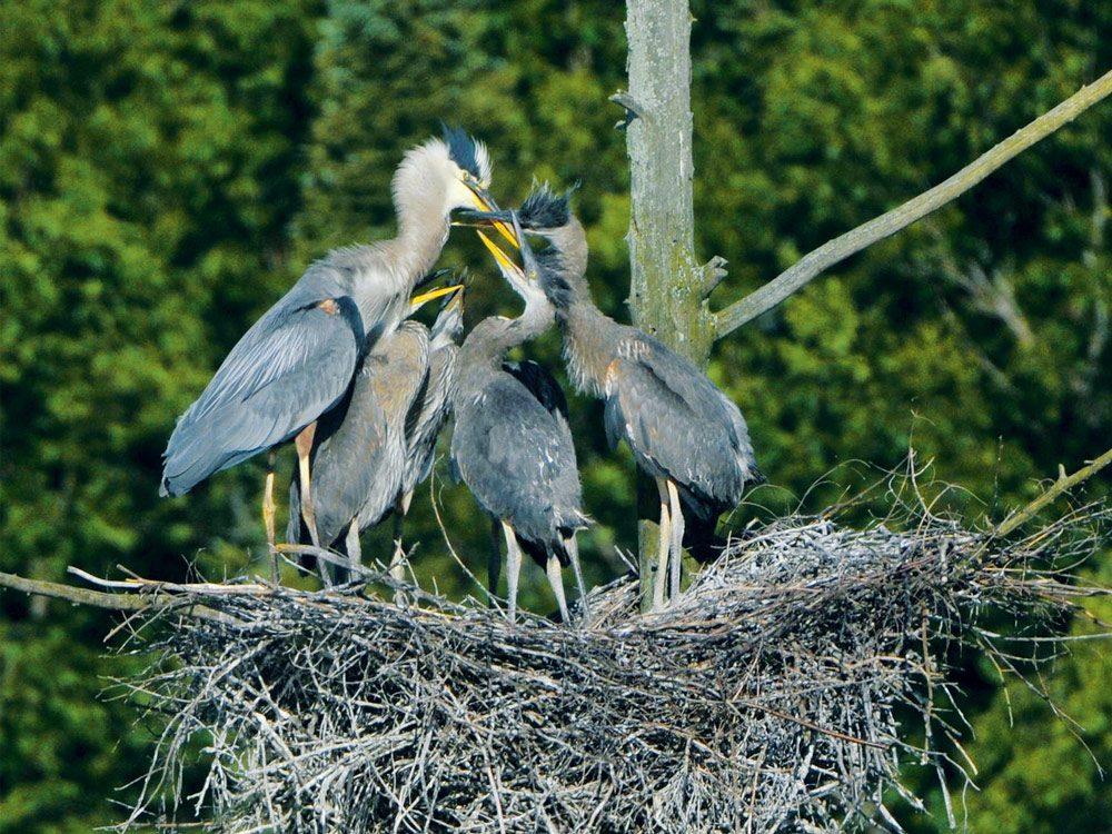 Great blue heron feeding frenzy