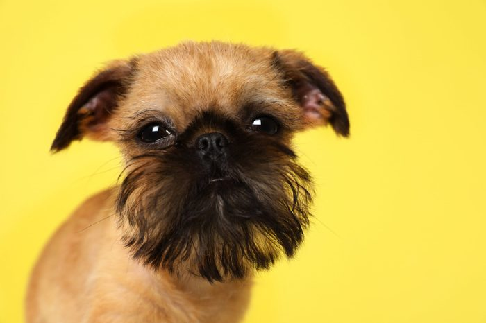 Studio portrait of funny Brussels Griffon dog looking into camera on color background