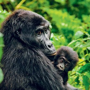 save gorillas (gorilla with baby)