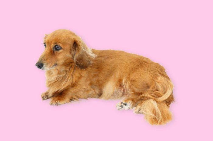portrait of a miniature dachshund