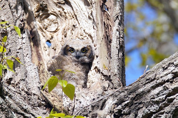 baby great horned owl on the tree